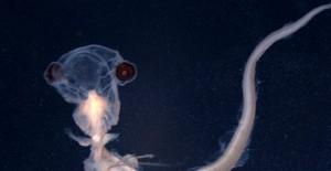 科学家在巴西海域发现胶状怪鱼(图)